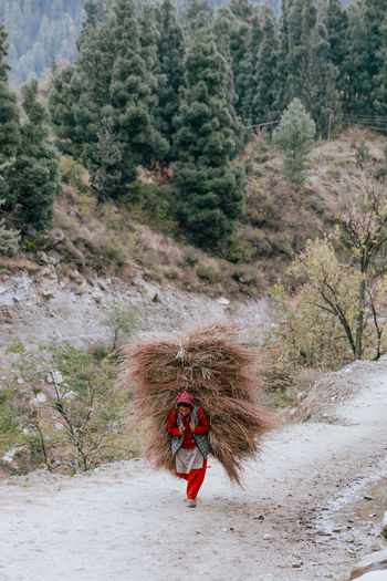 Woman walking while carrying hay on back
