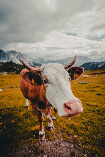Cow standing on field against cloudy sky