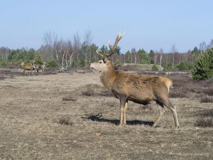 Deer standing on field