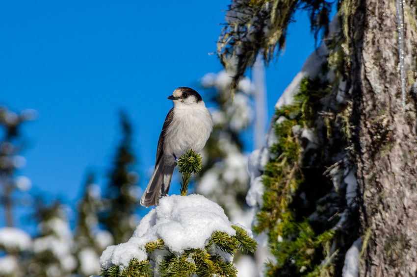 Canada's National Bird Animal Animal Themes Animal Wildlife Animals In The Wild Beauty In Nature Bird Blue Branch Day Gray Jay Nature No People One Animal Outdoors Perching Sky Snow Tree Tree Trunk Whiskey Jack Winter Woodpecker