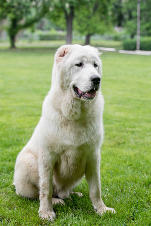 Central Asian Shepherd Dog. Alabai - An Ancient Breed From The Regions Of Central Asia Alabai Animal Themes Day Dog Domestic Animals Focus On Foreground Full Length Grass Green Color Lawn Mammal Nature No People One Animal Outdoors Pets Shepherd Sitting Tree
