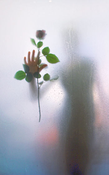 Woman Shadow Holding Rose Flower Seen Through Condensed Glass