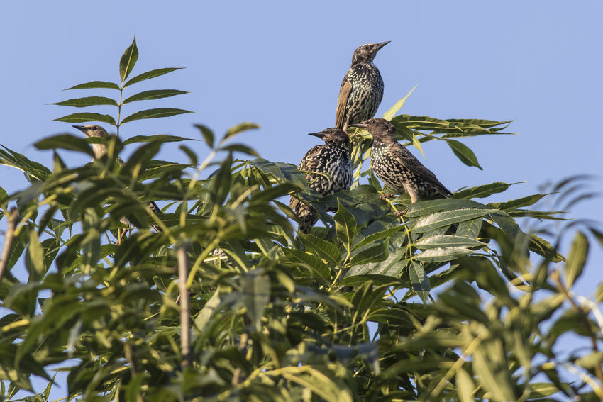 A common starling on a branch Beak Field Grass Songbird  Sturnus Vulgaris Animals World Bird Birds Birds Life Birds World Black Common Starling Day Feathering Landscape Nature No People Outdoor Outdoors Singing Birdsingingflyingnature Star - Space Starlings Swarm Swarm Of Birds Wildlife