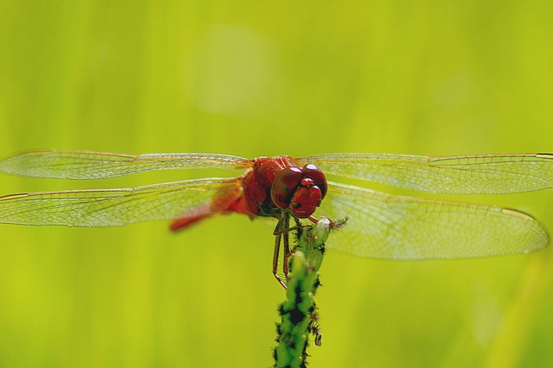 red dasher Red Dasher Animal Themes Animal Animals In The Wild Invertebrate Insect Animal Wildlife One Animal Close-up Focus On Foreground Plant Dragonfly Green Color No People Nature Animal Wing Day Beauty In Nature Outdoors Plant Part Animal Body Part