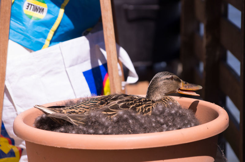Duck Brooding