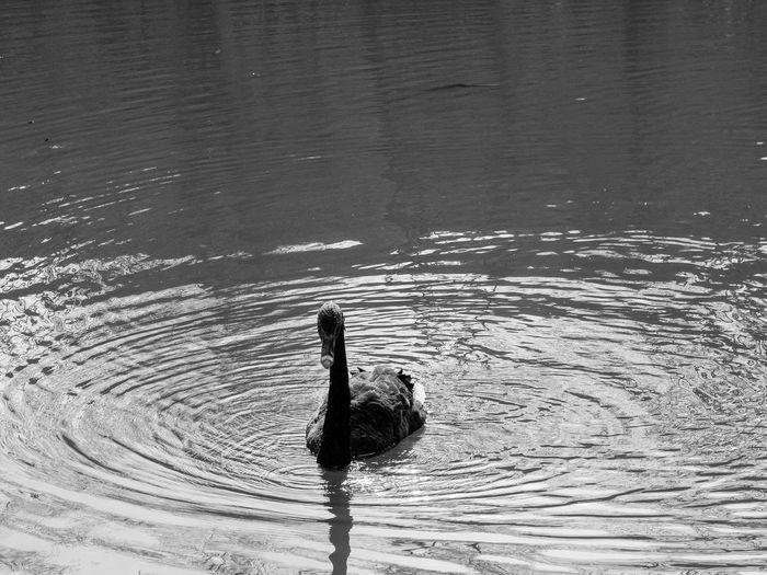 Black Swan on a