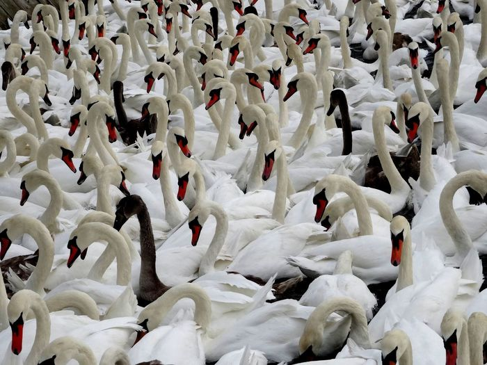 Swans Swans Swans ... At Abbotsbury Large Group Of People High Angle View Bird Day Outdoors Adult People Animal Themes