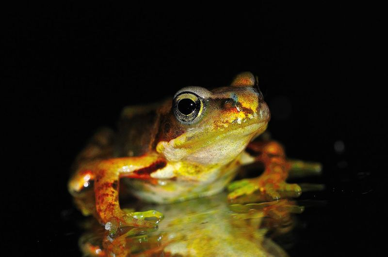 Close-up of frog in water against black background