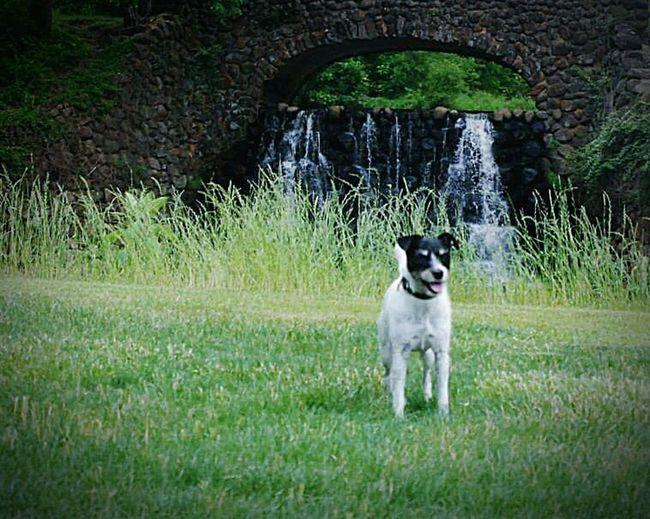 Summer Dogs Jackrussellterrier Jrt Jackrussell Winston-Salem North Carolina At The Park