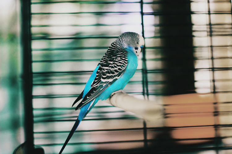 Close-up of blue bird perching in cage
