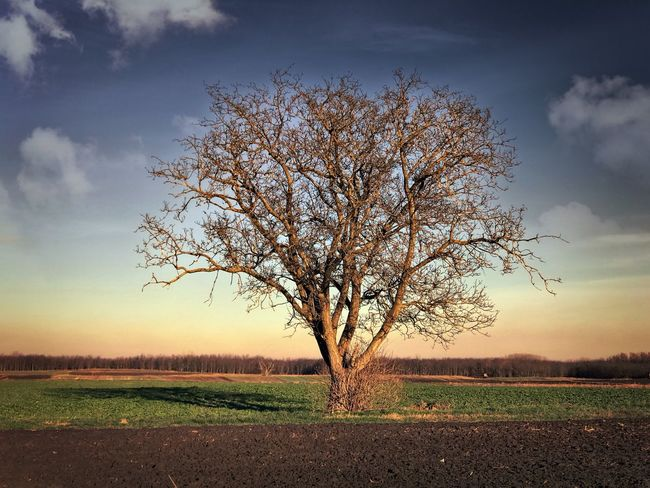 Tree Landscape Bare Tree Tranquility Lone Sky Beauty In Nature Nature No People Outdoors Day