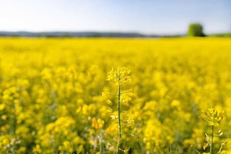 Scenic view of oilseed rape field
