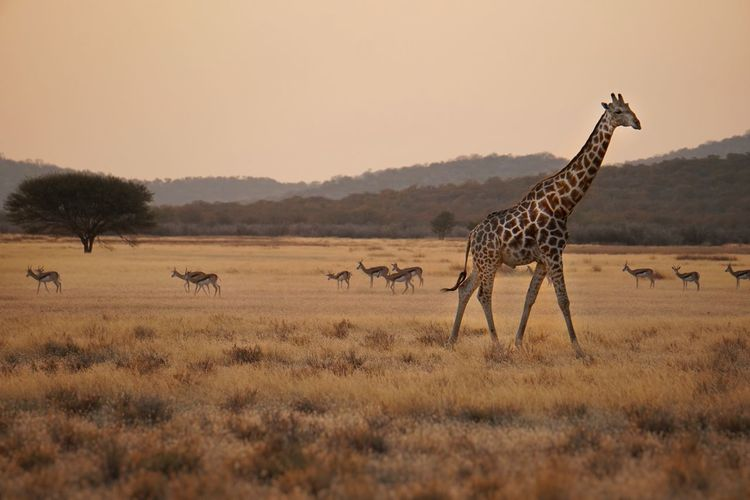 Giraffe and deer walking on grassy field against clear sky during sunset