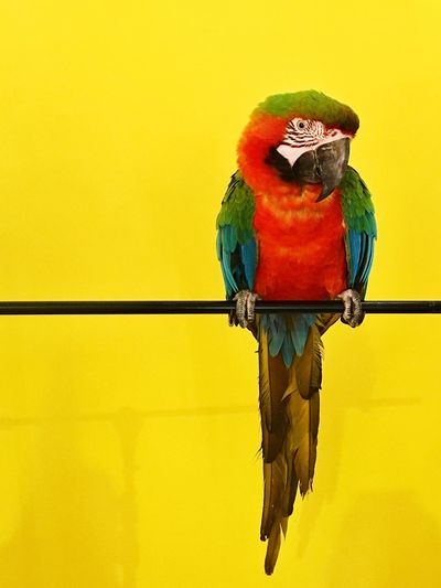 Macaw #colorinspire Parrot Multi Colored Bird Macaw Perching Scarlet Macaw Beauty In Nature