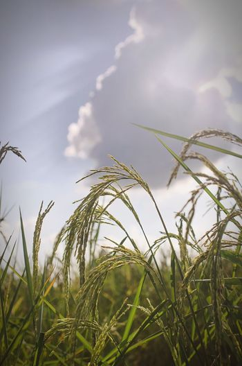 Low angle view of grass on field against sky