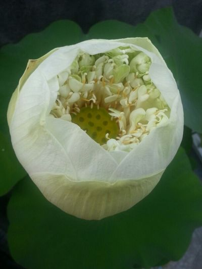 good morning from bali... Flower Lotus Hello World The Purist (no Edit, No Filter)