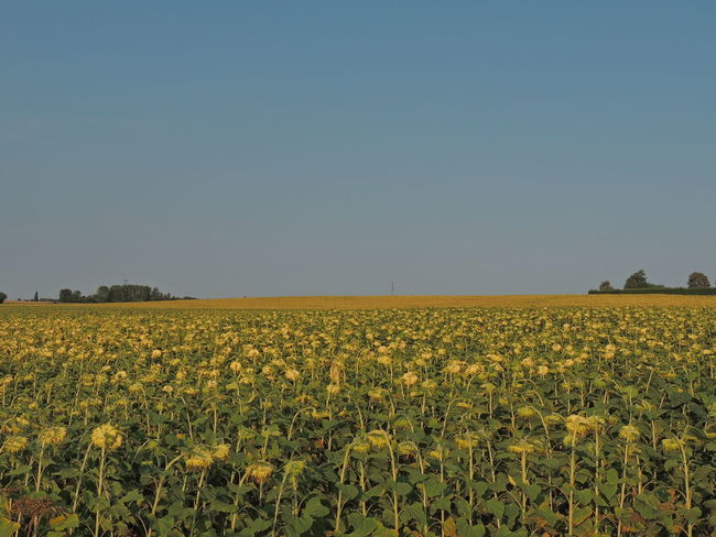 Touraine Loire Sky Growth Plant Nature No People Outdoors Field Landscape Land Beauty In Nature Agriculture Rural Scene Environment Tranquil Scene Scenics - Nature Tranquility Clear Sky Farm Yellow Flower Copy Space Crop  Plantation