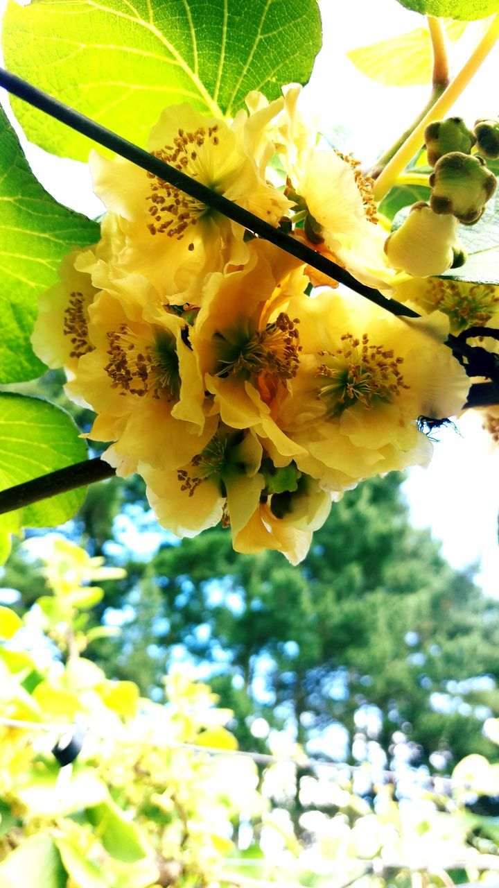 flower, growth, beauty in nature, nature, fragility, freshness, tree, petal, blossom, low angle view, springtime, no people, branch, day, yellow, outdoors, close-up, plant, blooming, flower head