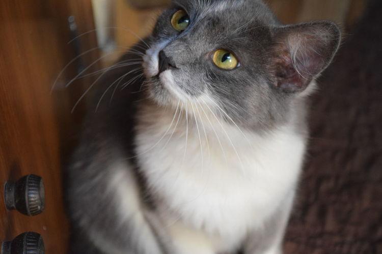 My cat Cat Green Eyes Grey Interior No Edit/no Filter No Flash No People Pet EyeEmNewHere