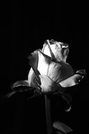 Canon Canonphotography Canon_photos Canon Eos  Canon 18-55 Rose🌹 Bw Black And White Blackandwhite B/W Photography B/w Flower Head Black Background Flower Studio Shot Rose - Flower Petal Close-up