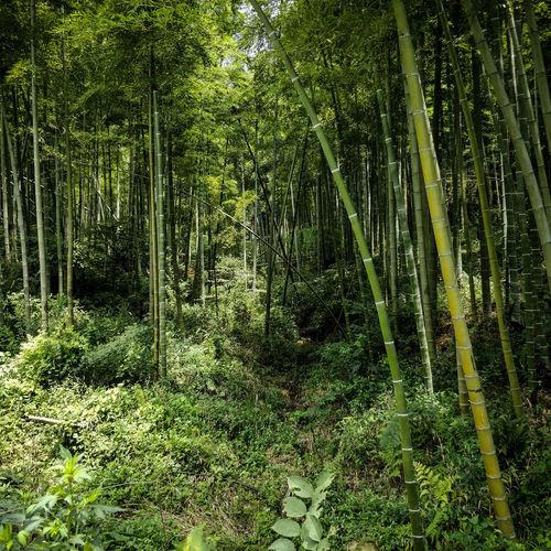 Mountains China Bamboo Forest Mountain Moganshan Hiking Summer