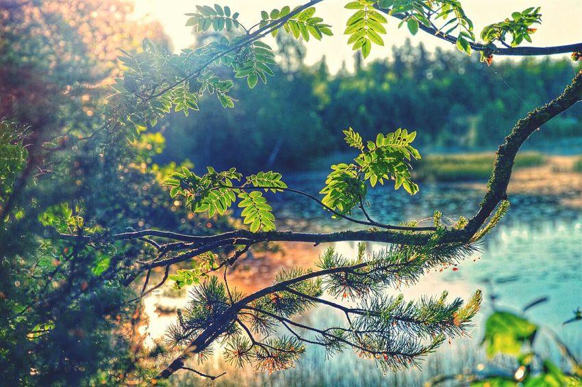 Close-up Sunlight Littoisten Järvi Tree Branches Selective Focus Green Color