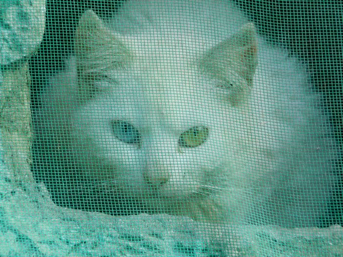 Portrait Of White Cat Looking From Netting