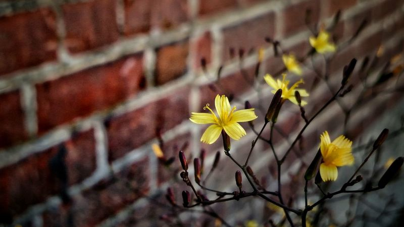 EyeEm Selects Flower Plant Nature Growth Fragility Outdoors No People Day Beauty In Nature Close-up Flower Head Freshness Brick Wall EyeEm Best Shots The Week Of Eyeem New Talents Newest Talent Somergefühle Breathing Space The Week On EyeEm