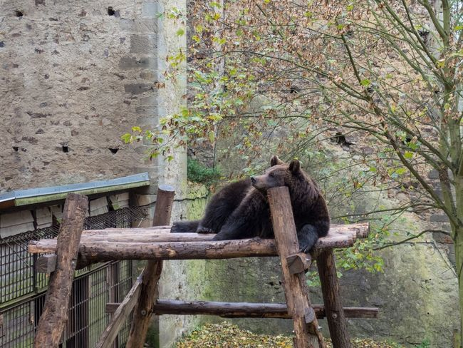 Animal Animal Photography Bear Bored Castlemoat Dreaming Thinking Wildlife