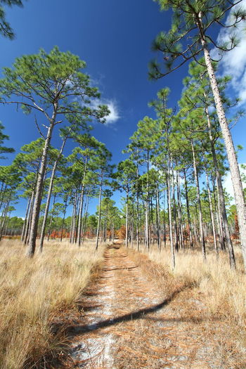 Grass Beauty In Nature Blue Sky Day Dirt Road Dried Forest Growth Landscape Long Leaf Pine Nature No People Outdoors Path In Nature Path In The Woods Pine Tree Savanna Scenics Sky Sunlight The Way Forward Trail Tranquil Scene Tranquility Tree