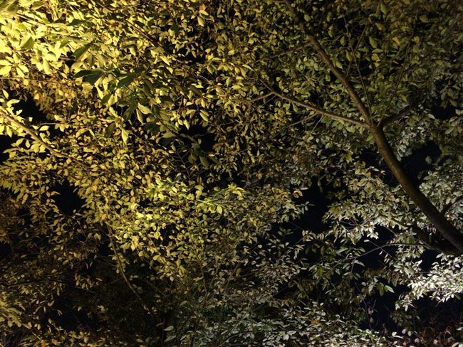 Autumn Leafs Autumn Leaves Kyoto Night Kyoto,japan Kyoto Autumn Night Kyoto Autumn Light Kyoto Autumn