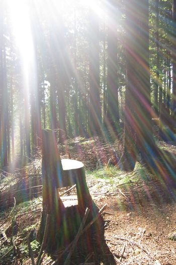 Sunbeam Sunbeams Stump Baumstumpf Sonnenstrahlen Forest Wald Westweg Schwarzwald Black Forest No Filter Rainbow Colors