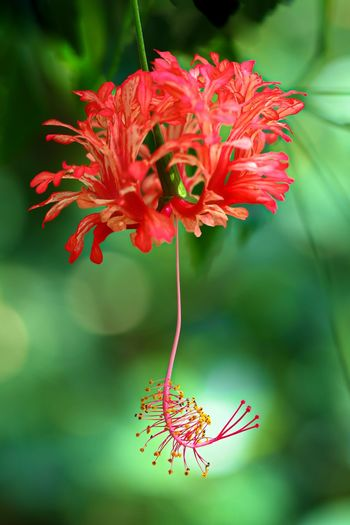 Hibiscus schizopetalus Beauty In Nature Close-up Day Flower Flower Head Flowering Plant Focus On Foreground Fragility Freshness Growth Hibiscus Schizopetalus Inflorescence Nature No People Outdoors Petal Plant Pollen Pollination Red Selective Focus Vulnerability