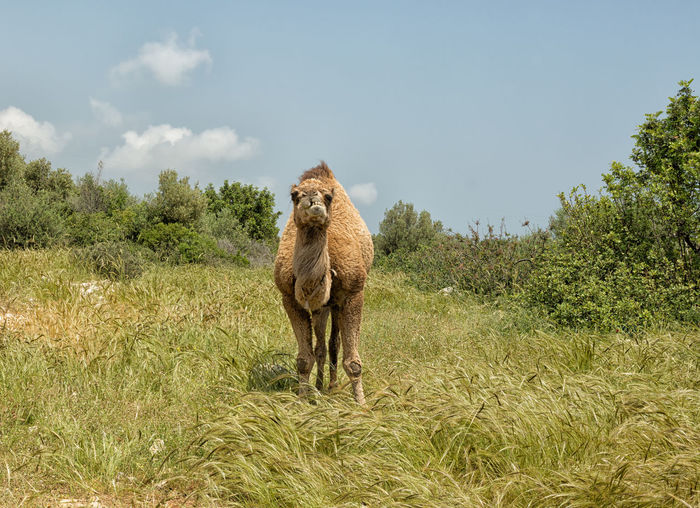 Camel Grazing Animal Themes Animals In The Wild Beauty In Nature Camel Camel Hair Camel Riding Desert Animal Domestic Animals Field Four Legged Friend Grass Long Neck  Mammal Nature One Animal One Hump Outdoors Sky Trees Turkey