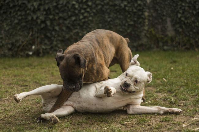 Phillip ❤ Sopi [Chinon 55mm f/1.7] Animal Themes Boxer Boxer Dogs Dog Dogs Domestic Animals I Love My Boxer I Love My Boxers Pets Playing Playing Dogs Two Animals