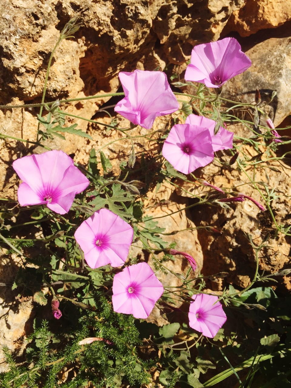 flower, petal, pink color, purple, fragility, growth, flower head, beauty in nature, nature, high angle view, no people, freshness, plant, day, outdoors, blooming, close-up, petunia, crocus, periwinkle