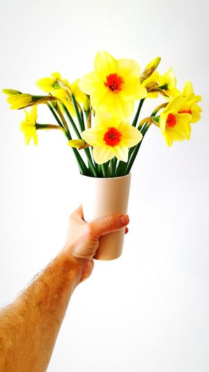 Close-up of hand holding yellow flowers against white background