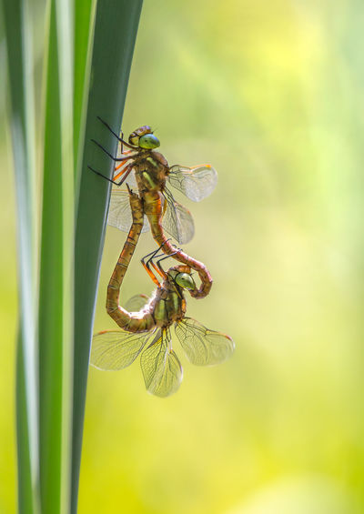 two dragonflies mating Aeshna Isoceles Dragonfly Light Love Norfolk Hawker Animal Themes Animal Wildlife Animals In The Wild Beauty In Nature Close-up Damselfly Day Focus On Foreground Green Color Green-eyed Hawker Growth Hawker Insect Nature No People One Animal Outdoors Sexygirl Sun