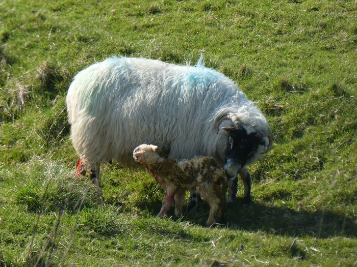 Newborn Lamb Isle Of Lewis Lamb Newborn Sheep Spring Outer Hebrides Animal Themes Animal Mammal Vertebrate Field Domestic Animals Plant Livestock Land Domestic Grass Group Of Animals Sheep Green Color Nature No People Young Animal Sunlight High Angle View