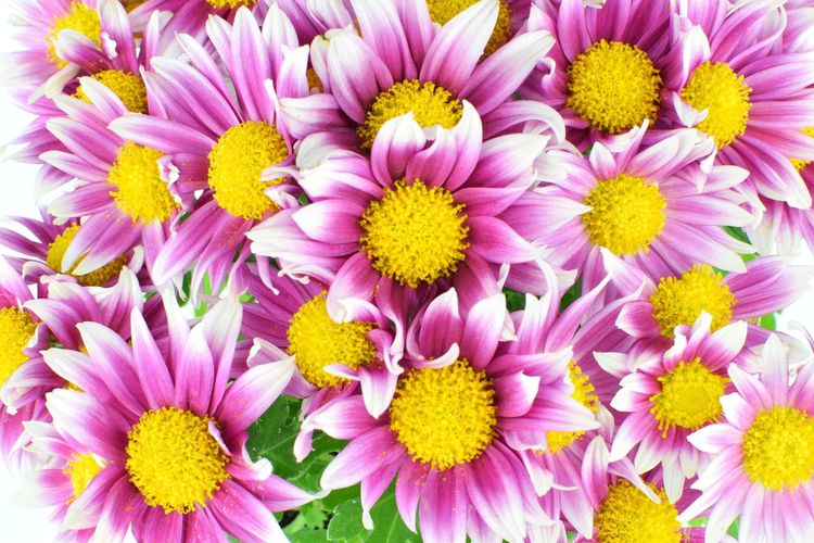 nature flower background,pink flowers EyeEm Selects Summer Colorful Punk Flower Pattern Background Texture Nature Beauty In Nature Flora Bloom Flower Head Flower Backgrounds Yellow Full Frame Petal Multi Colored Springtime Pink Color Chrysanthemum Pollen Blossom In Bloom Daisy Blooming Botany