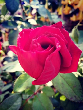 Flower Head Flower Pedal Red Petal Rose - Flower Close-up Blooming Plant