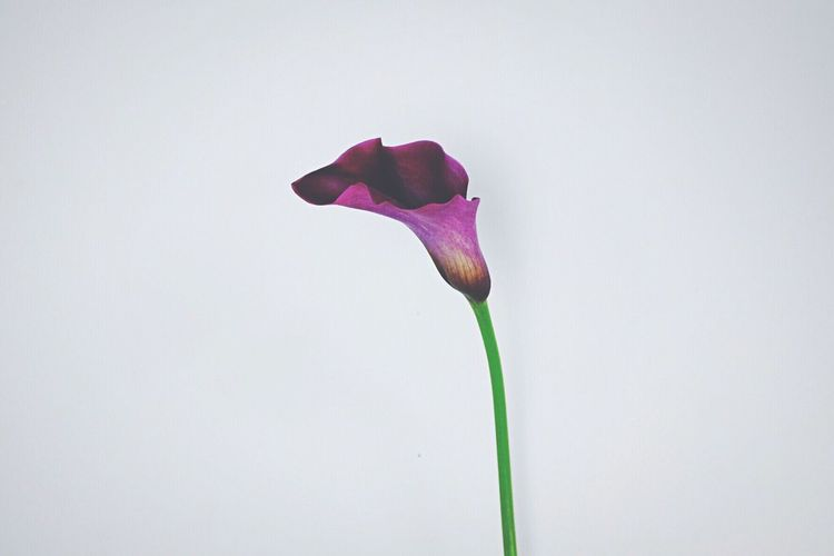 Calla lily flower against white background