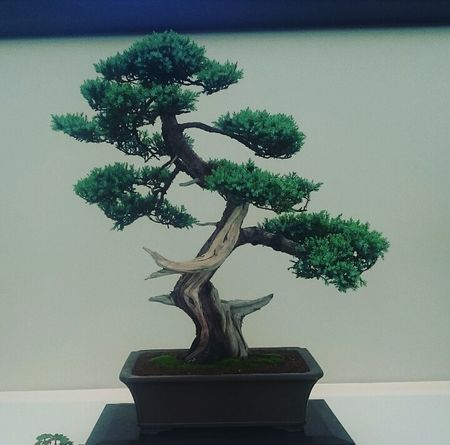 Bonsai Tree Potted Plant Tree Home Showcase Interior Hamptoncourtpalacegardens