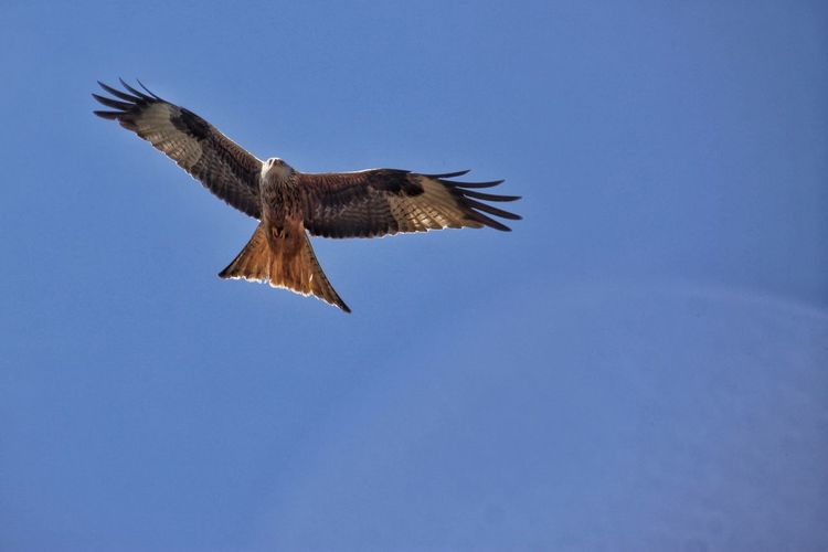 Low angle view of red kite in flight