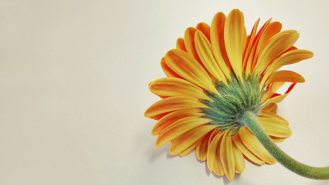 Orange Color Studio Shot Flower Close-up Yellow Nature Social Issues Freshness Fragility Concentric Beauty In Nature No People Gerbera Daisy White Background Flower Head Day