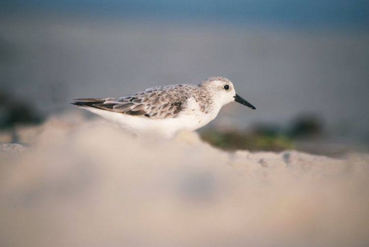 Birds of New York (Calidris alba) Calidris Alba Bird One Animal Animal Wildlife Animals In The Wild Vertebrate No People Nature Beauty In Nature Selective Focus Focus On Foreground Water