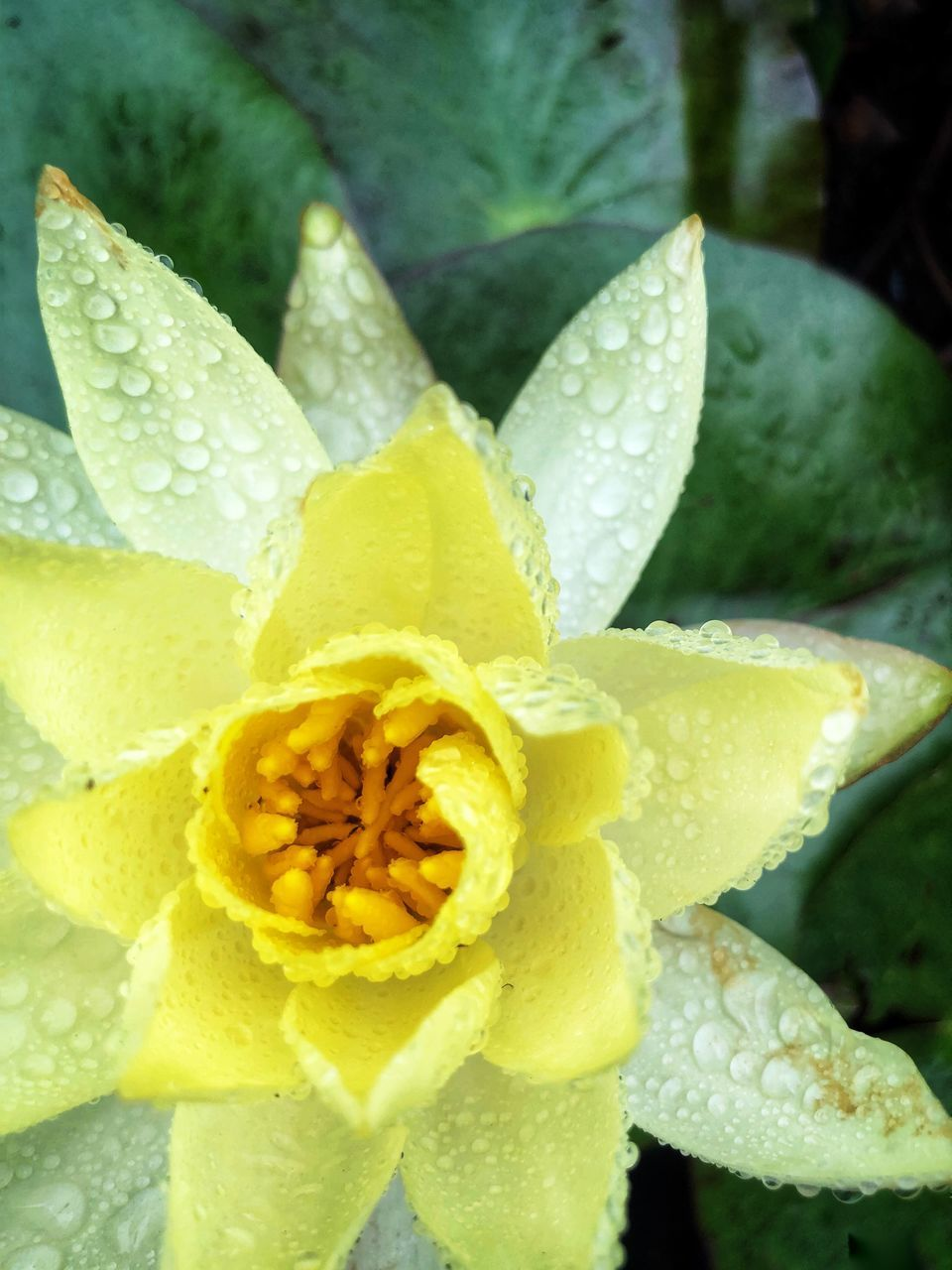 CLOSE-UP OF WATER DROPS ON YELLOW ROSE FLOWER