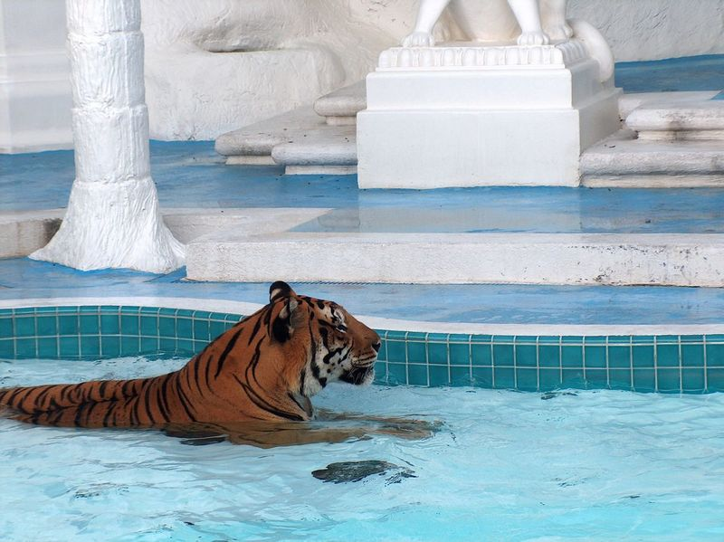 Animal Animal Themes Beast Dressage Las Vegas Documentary Photography Mammal No People Relaxation Tiger Tiger In Swimmingpool