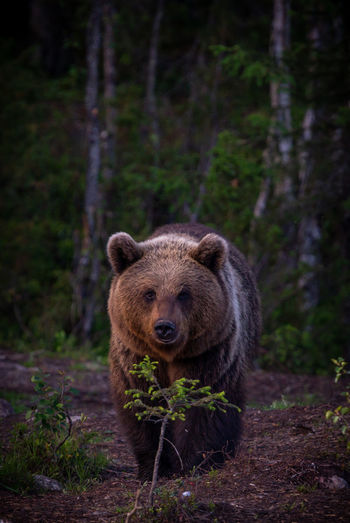 Portrait of grizzly bear in forest