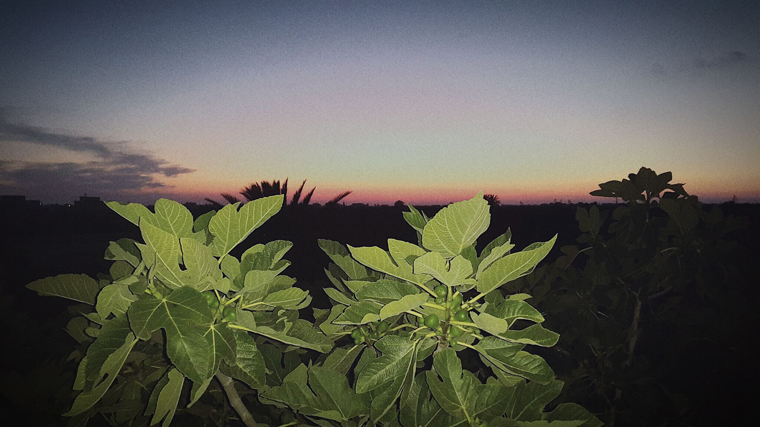 leaf, growth, beauty in nature, sunset, tranquility, plant, nature, tranquil scene, sky, silhouette, scenics, copy space, green color, dusk, clear sky, landscape, tree, outdoors, idyllic, no people